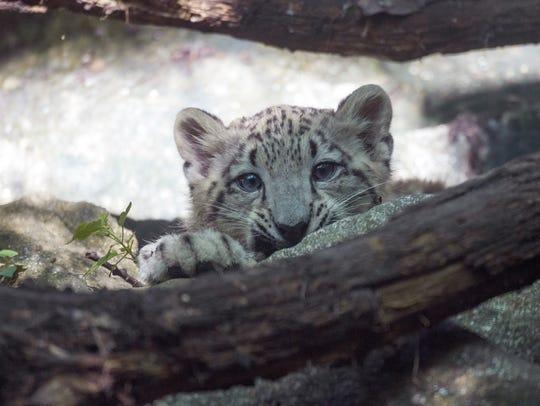 A snow leopard cub (Panthera uncia) born at the Bronx