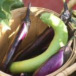Beautiful eggplants are part of the summer fare for homegrown vegetables.