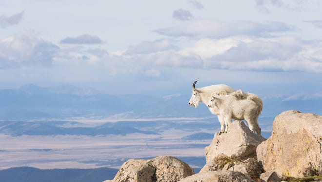 Courtesy of Dawn Y. Wilson A mountain goat nanny and her offspring stand on a rocky ledge and look out over South Park on Mount Evans in Colorado. A mountain goat nanny and her offspring (Oreamnos americanus) stand on a rocky ledge and look out over South Park on Mount Evans in Colorado.