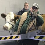 Holy cow! Wandering bovine returned to Philly nativity scene twice