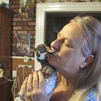 Kimberlee Stevens of Middlesex kisses Peep, a 3-year-old wood duck, at her home Monday. Stevens' dog found Peep when it was a chick and brought it home. Vermont wildlife officials tried to take Peep away from Stevens, but the state relented after a public outcry.