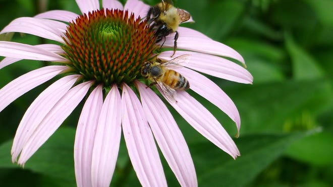 A honeybee and a bumblebee sip on nectar from an organic echinacea flower.