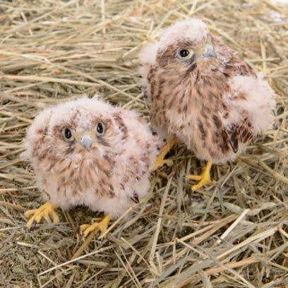 Peregrine falcon chicks.