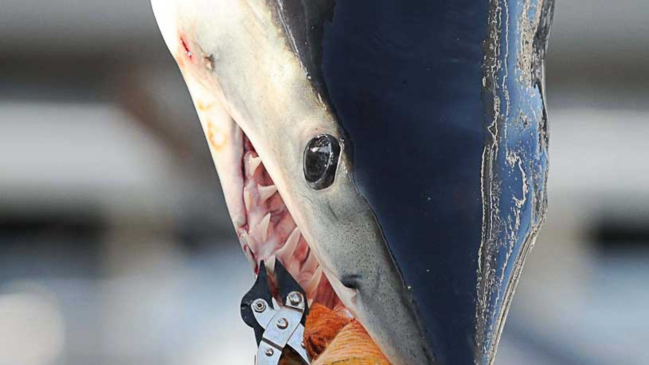 A crowd watches as a mako shark tips the scales at more than 200 pounds on Friday, Aug. 12 at the White Marlin Open.