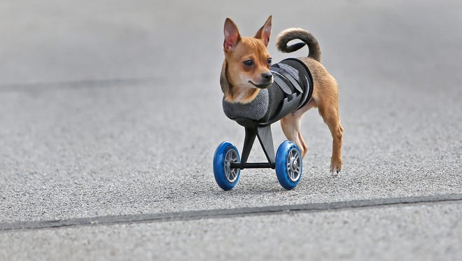"""In a Dec. 10, 2014 photo, TurboRoo, an adorable Chihuahua that was born with only two legs, uses his new 3D printed mobility cart, with scooter wheels, as he takes a walk in Indianapolis. Next month he'll be flown to Los Angeles to be honored as the CW network's """"Underdog of the Year."""""""
