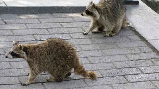 Raccoons may be difficult to rid from your property. They are intelligent and sometimes carry rabies.