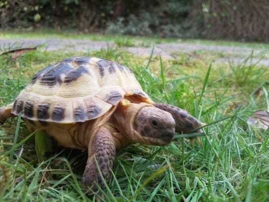 Spartacus, the fugitive tortoise
