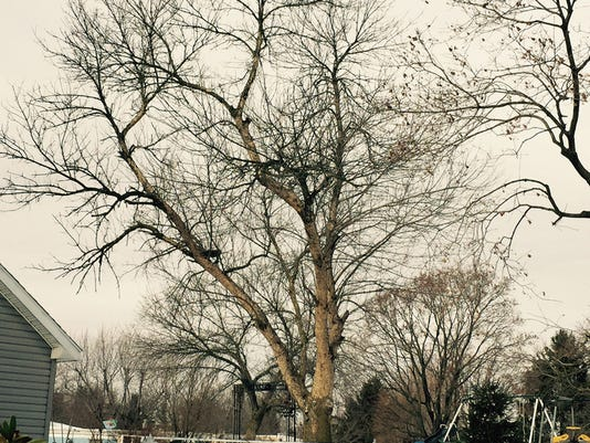 This is one of the handful of ash trees discovered by arborists in York and Adams counties.