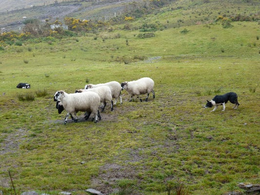 """Stacy Smith of West Manchester Township submitted this photo to the YDR Animals gallery Mar. 29. Smith writes, """"Working dogs in Ireland."""" Submitted"""