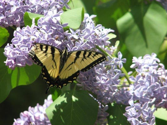 lilac_butterfly