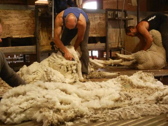 Contract shearers clip sheep and lambs at the Helle Rambouillet Ranch near Dillon. The ranch sheers between 8,000 and 10,000 ewes and lambs a year, with each sheep producing eight to 12 pounds of shorn wool each year. Crews use a computerized analyzer machine to determine which fleece will be used in different garment types made by Duckworth Wool.