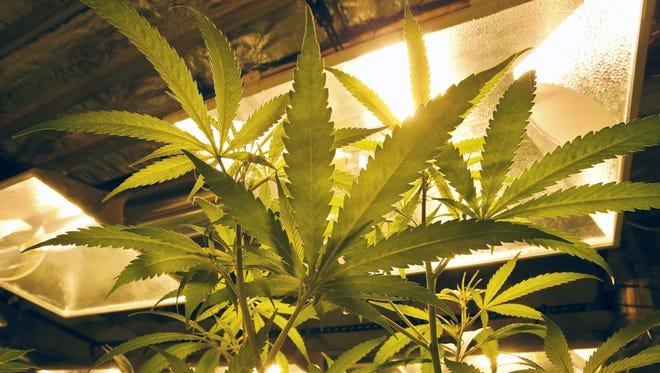 Marijuana plants grow under special lights inside the grow facility at Medicine Man marijuana dispensary in Denver.