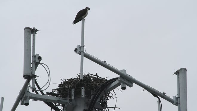An osprey sits above its nest on the cell tower in the Croton Harmon train station parking lot on June 11, 2014.