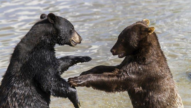 Two bears playing (not related to story)