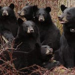 New round of bear, deer hunting starts Monday