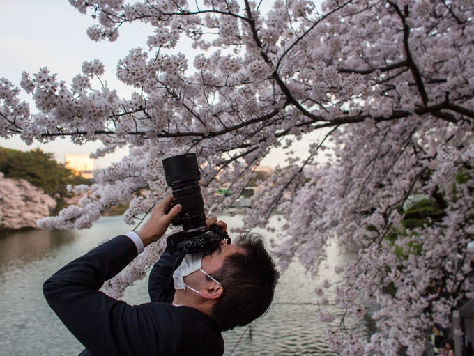 Blooming cherry blossom trees are a popular attraction
