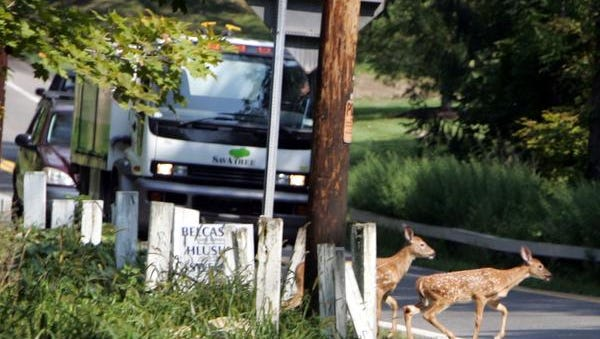 Traffic on Route 116 in North Salem comes to a stop as two young deer cross the road Aug. 29, 2007.