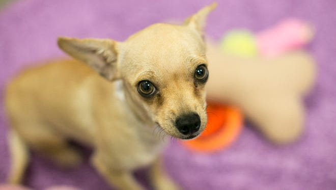 "A chihuahuas sits on a rug  in ""Chi Town,"" Maricopa County Animal Care and Control's shelter-within-a-shelter just for Chihuahuas and Chihuahua mixes."