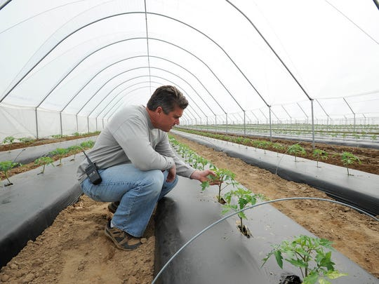 Fifer Orchards co-owner Bobby Fifer checks on his tomatoes that are growing in their high tunnels. The high tunnels are designed to helps growers get their crops going early or extend the growing season.