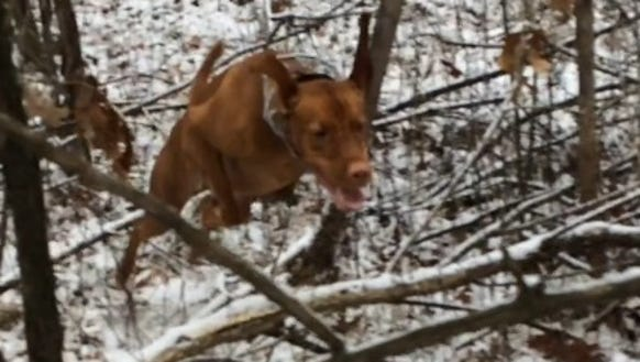 Bertie jumps through a thicket.