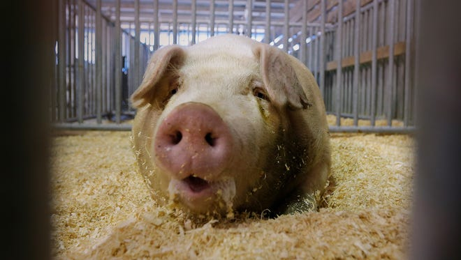 A pig stays cool out of the heat at the Wisconsin State Fair, which runs through Aug. 14.