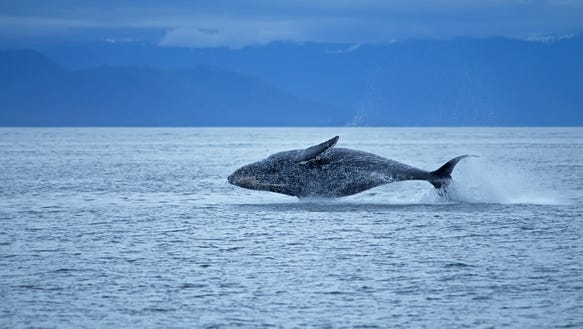 XXX 10. Whale watching is a major attraction at Glacier Bay -cr