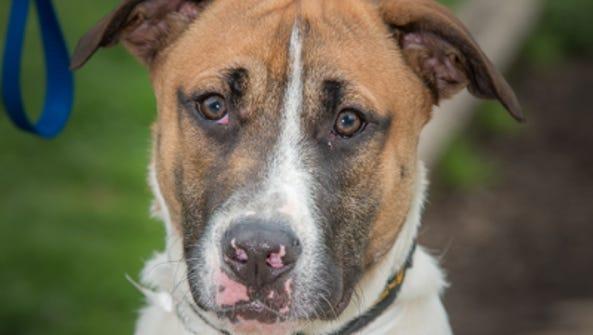 Jake is an 8-month-old boxer/German shepherd mix looking