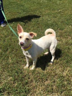 Lilly is a 2-year-old chihuahua-terrier mix up for adoption at Nasvhille Humane Association.