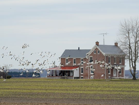 Snow geese near Bombay Hook National Wildlife Refuge