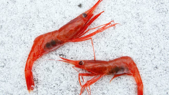 FILE - In this Jan. 6, 2012, file photo, northern shrimp lay on snow aboard a trawler in the Gulf of Maine.