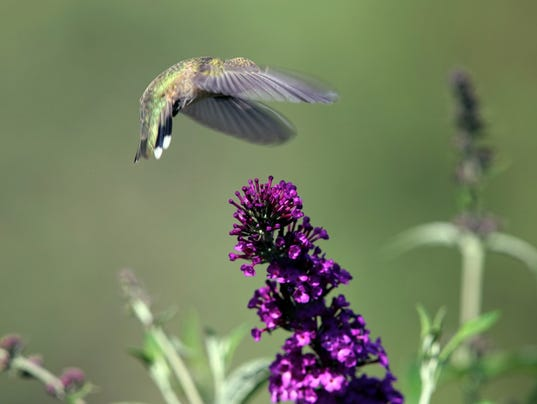 hummer and butterfly bush