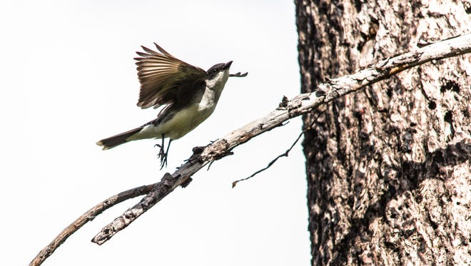An Eastern Kingbird takes off in Glacier National Park.