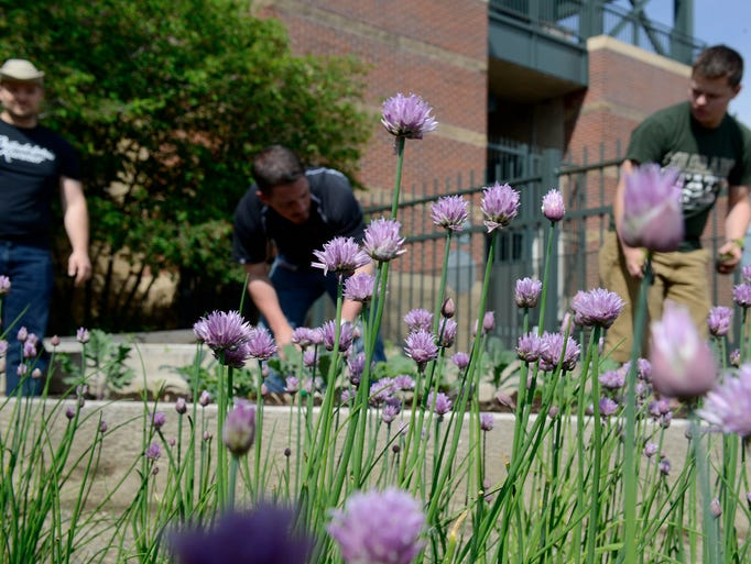 Staff from ARAMARK and The Institute for the Built Environment seen planting through chives in the foreground.
