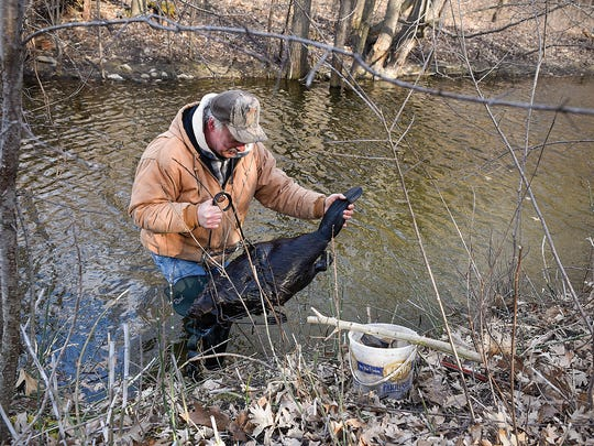 Pete Jonas tosses a beaver onto the stream bank after