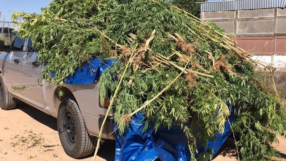 Otero County Sheriff's Office deputies seized 130 marijuana