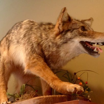 A stuffed coyote killed in the Middletown area is on