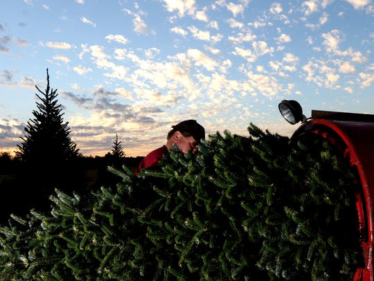 A tree is pushed through a baler at the Wolosek Christmas