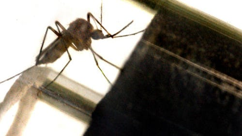 A mosquito can transmit the West Nile or Zika viruses.