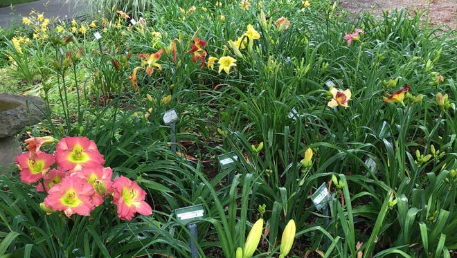 There are 80,000 cultivars of daylilies, with about 1,000 new cultivars registered each year. This is just a few of the 400 different daylilies in the garden of collectors Jay and Peggy Turman.