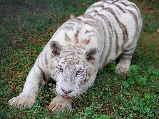 Visitors can see this tiger at 1,500 other animals at Noah's Ark Animal Sanctuary.