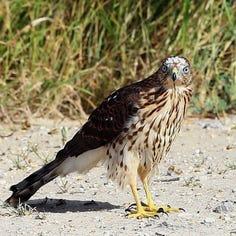 Feasting flocks attract a lady hawk