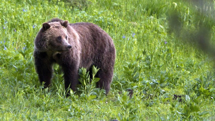 Grizzly bear roaming near Beaver Lake in Yellowstone