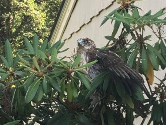 Police and animal control officers on Friday morning, July 22, teamed up to rescue this red-tailed hawk, which flew into a sunroom at a residence on Wood Glen Way. The raptor is shown here in a tree after it was captured and released.
