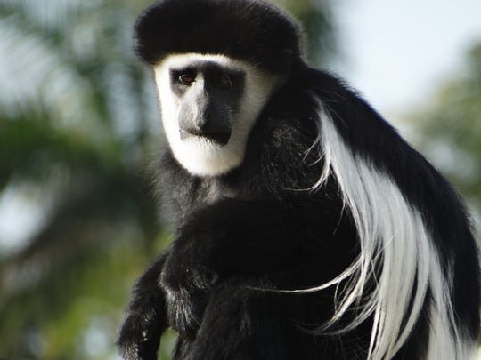 New residents at the Naples Zoo this year are three black-and-white colobus monkeys — a father and his boys.