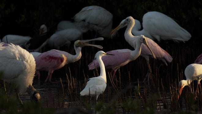 A small tidal pool off Estero Boulevard south of Lovers Key is filled with wading birds.