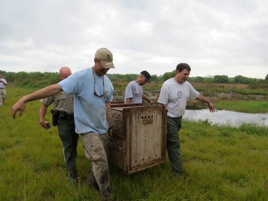 State biologists and officers transport a 2-year-old, 110-pound panther for release Monday in the Bird Rookery Swamp area of the Corkscrew Regional Ecosystem Watershed.