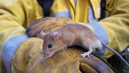 A golden mouse will often build its feeding platforms in trees to feed on nuts and berries.