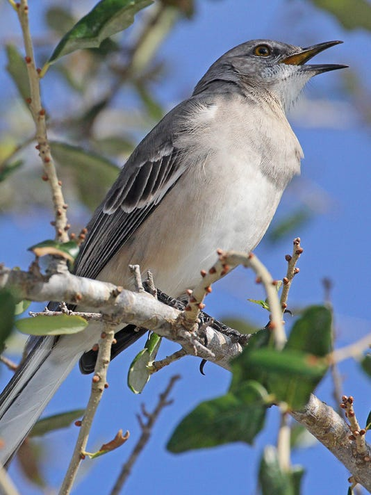 Northern-Mockingbird.jpg