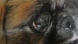 Pekingese with microchip 103 616 835 with eye problem.