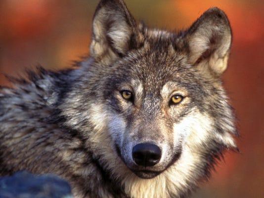 635546031927121933-AP-Endangered-Wolves-LA103